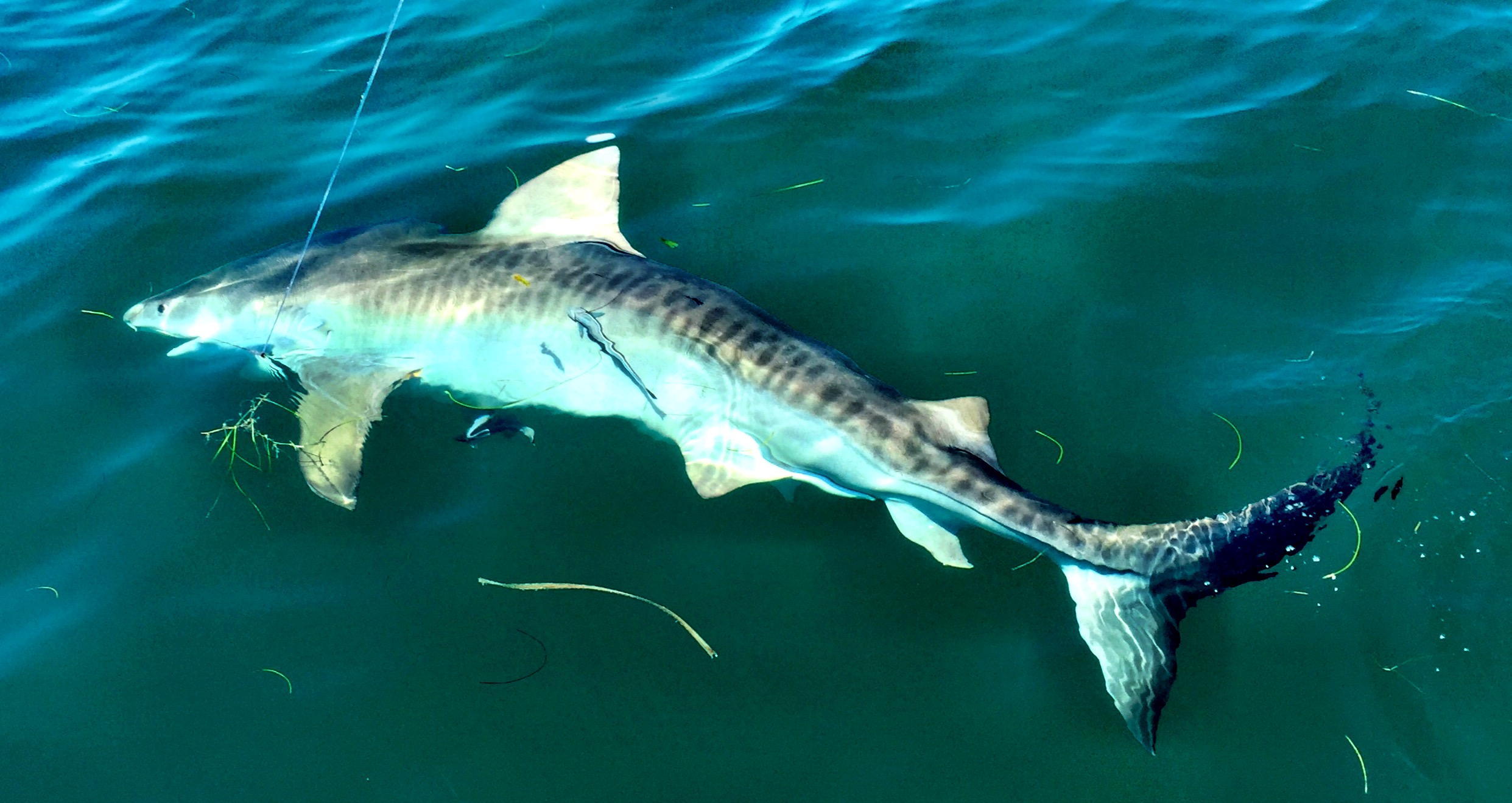 Shark fishing tenacity guide service tiger shark altavistaventures Image collections